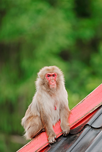 PRM 02 AC0072 01 © Kimball Stock Japanese Macaque Sitting On Roof