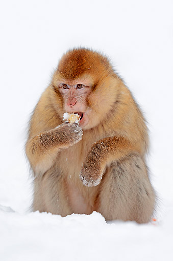 PRM 02 AC0075 01 © Kimball Stock Barbary Macaque Monkey Eating In Snow