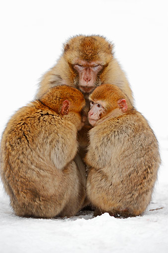 PRM 02 AC0076 01 © Kimball Stock Barbary Macaque Monkey Adult And Young Huddling In Snow