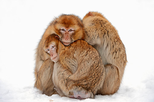 PRM 02 AC0077 01 © Kimball Stock Barbary Macaque Monkey Adult And Young Huddling In Snow