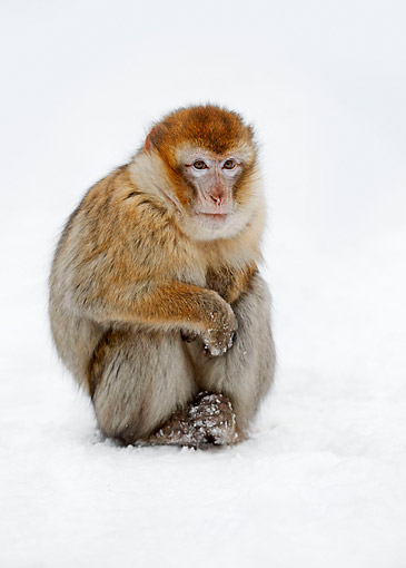 PRM 02 AC0078 01 © Kimball Stock Barbary Macaque Monkey Standing In Snow