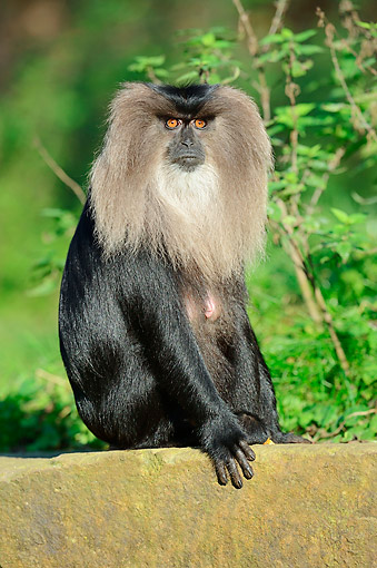 PRM 02 AC0079 01 © Kimball Stock Lion-Tailed Macaque (Also Called Wanderoo) Female Sitting On A Rock Looking Into The Sun