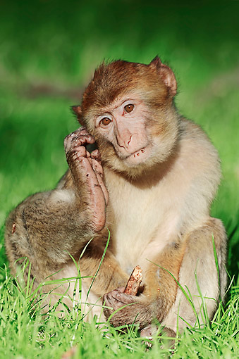 PRM 02 AC0081 01 © Kimball Stock Barbary Macaque Monkey Scratching Ear With Foot