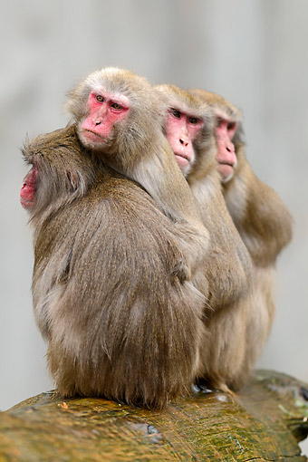 PRM 02 AC0083 01 © Kimball Stock Japanese Macaques Hugging