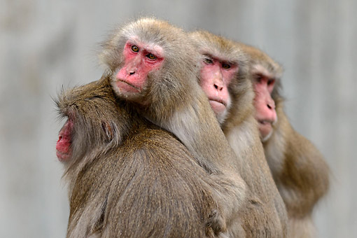 PRM 02 AC0084 01 © Kimball Stock Japanese Macaques Hugging
