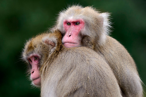 PRM 02 AC0085 01 © Kimball Stock Japanese Macaques Hugging