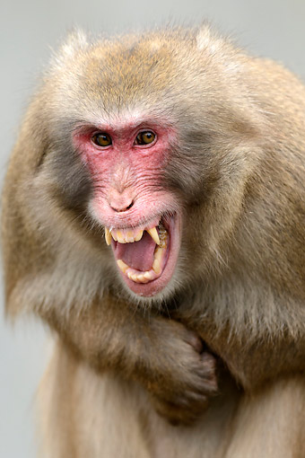 PRM 02 AC0086 01 © Kimball Stock Japanese Macaque Calling