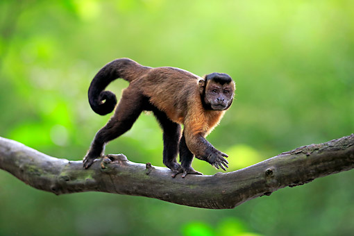 PRM 02 AC0087 01 © Kimball Stock Tufted Capuchin (Also Called Brown Or Black-Capped Capuchin, Or Pin Monkey) Walking Along Branch In South America