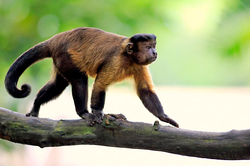 PRM 02 AC0088 01 © Kimball Stock Tufted Capuchin (Also Called Brown Or Black-Capped Capuchin, Or Pin Monkey) Walking Along Branch In South America