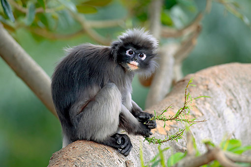 PRM 02 AC0092 01 © Kimball Stock Dusky Leaf Monkey Standing On Branch