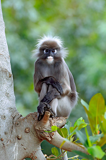PRM 02 AC0093 01 © Kimball Stock Dusky Leaf Monkey Standing On Branch