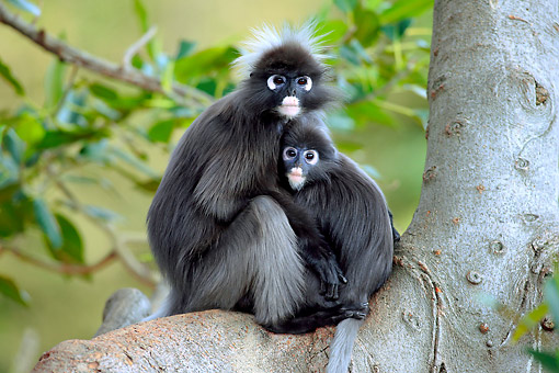 PRM 02 AC0094 01 © Kimball Stock Dusky Leaf Monkey Mother Holding Young On Branch
