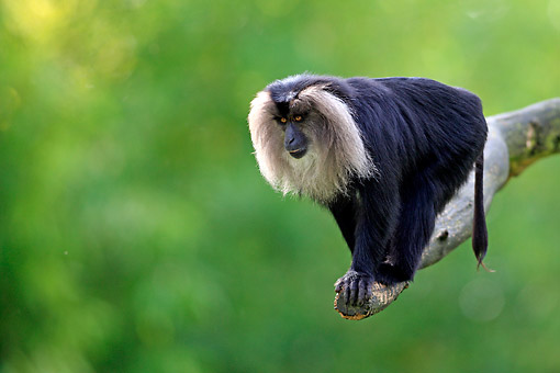 PRM 02 AC0096 01 © Kimball Stock Lion-Tailed Macaque Standing On Tree Branch