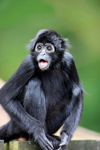 PRM 02 AC0097 01 © Kimball Stock Black-Headed Spider Monkey Calling