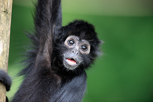 PRM 02 AC0099 01 © Kimball Stock Black-Headed Spider Monkey Portrait