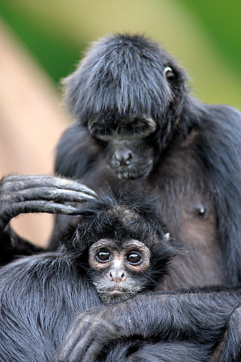 PRM 02 AC0100 01 © Kimball Stock Black-Headed Spider Monkey Female Holding Young