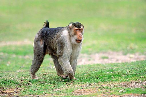 PRM 02 AC0102 01 © Kimball Stock Southern Pig-Tailed Macaque Strutting