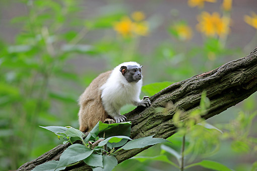 PRM 02 AC0109 01 © Kimball Stock Pied Tamarin Sitting On Log
