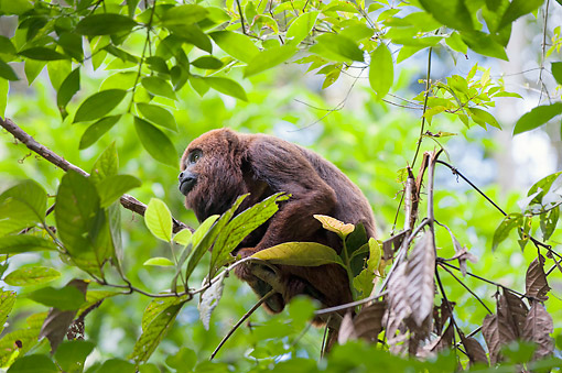 PRM 02 AC0110 01 © Kimball Stock Southern Brown Howler Monkey Sitting On Tree Branch