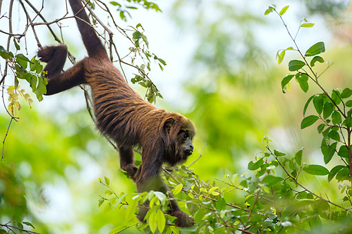PRM 02 AC0111 01 © Kimball Stock Southern Brown Howler Monkey Climbing On Tree Branch