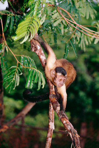 PRM 02 BA0001 01 © Kimball Stock Brown Pale-Fronted Capuchin Climbing On Tree Branch