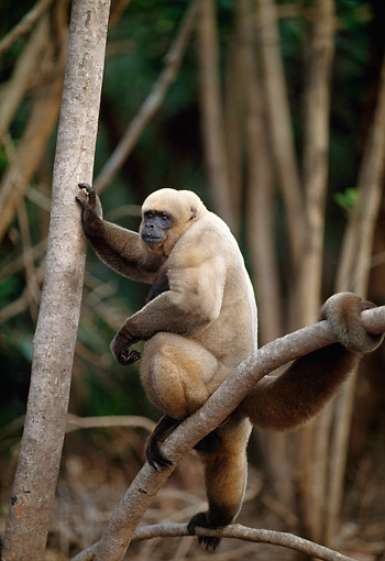 PRM 02 BA0002 01 © Kimball Stock Woolly Monkey Sitting On Tree Branch Profile