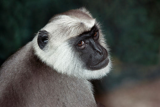 PRM 02 GL0001 01 © Kimball Stock Head Shot Of Hanuman Langur