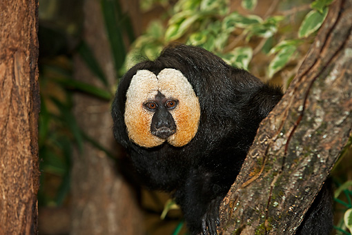PRM 02 GL0002 01 © Kimball Stock White-Faced Saki Male Sitting On Tree Branch