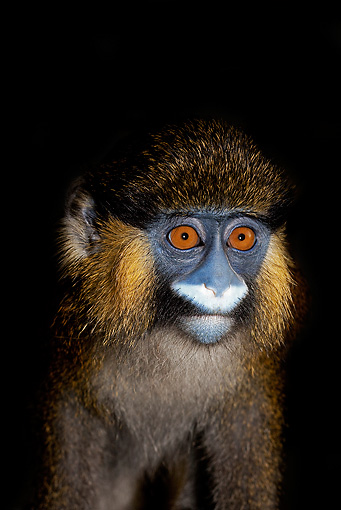 PRM 02 GL0003 01 © Kimball Stock Portrait Of Moustached Monkey In Dark