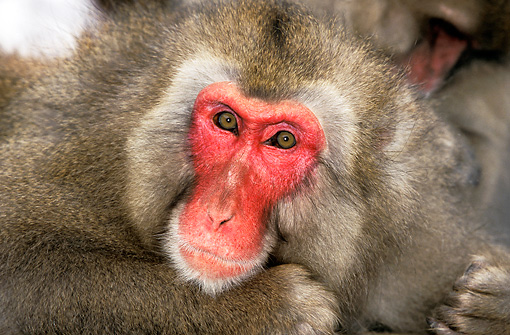PRM 02 GL0009 01 © Kimball Stock Head Shot Of Japanese Macaque