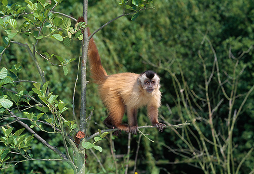 PRM 02 GL0010 01 © Kimball Stock Brown Capuchin Climbing On Tree Branch In Jungle
