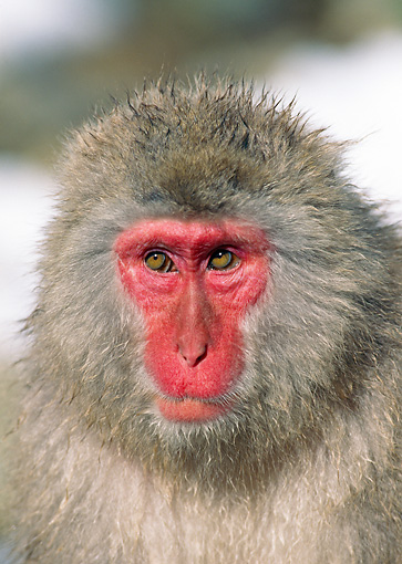 PRM 02 GL0011 01 © Kimball Stock Head Shot Of Japanese Macaque