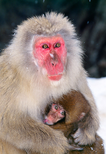 PRM 02 GL0012 01 © Kimball Stock Japanese Macaque Mother And Baby Sitting In Snow