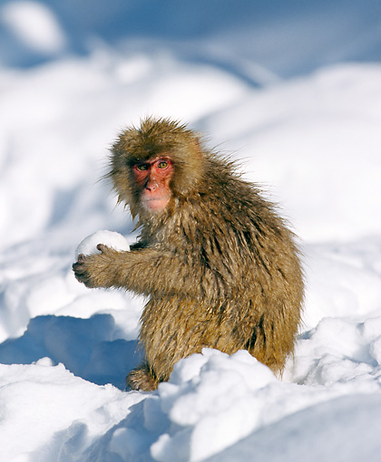 PRM 02 GL0013 01 © Kimball Stock Young Japanese Macaque Holding Snowball