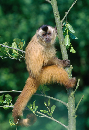 PRM 02 GL0014 01 © Kimball Stock Brown Capuchin Climbing Tree In Jungle