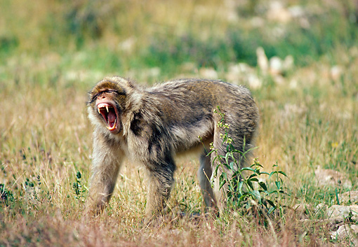 PRM 02 GL0015 01 © Kimball Stock Barbary Macaque Yawning On Grass