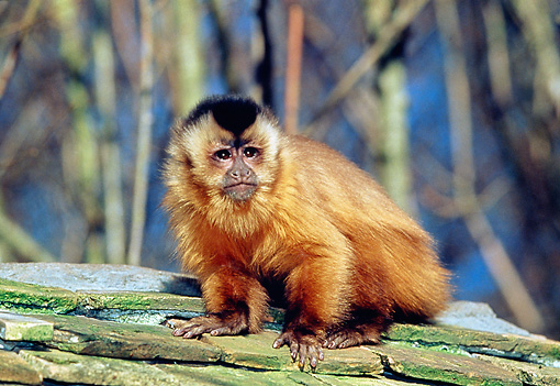 PRM 02 GL0017 01 © Kimball Stock Tufted Capuchin Sitting On Rocks