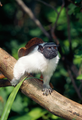 PRM 02 GL0018 01 © Kimball Stock Portrait Of Pied Tamarin Climbing On Tree Branch