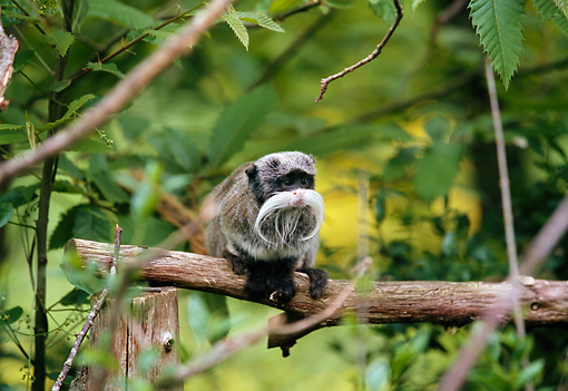 PRM 02 GL0019 01 © Kimball Stock Emperor Tamarin Sitting On Branch