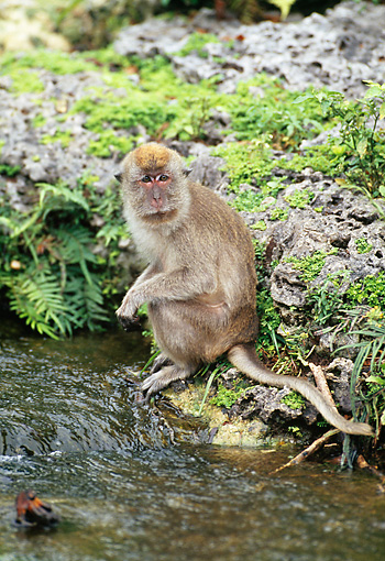PRM 02 GL0022 01 © Kimball Stock Long-Tailed Macaque Sitting At Edge Of Stream