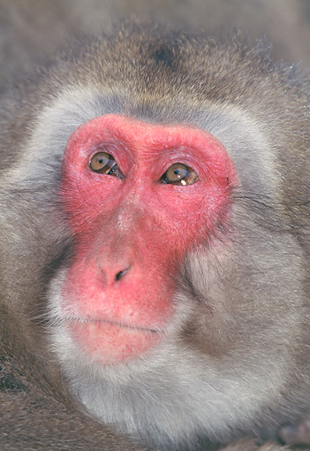 PRM 02 GL0023 01 © Kimball Stock Head Shot Of Japanese Macaque