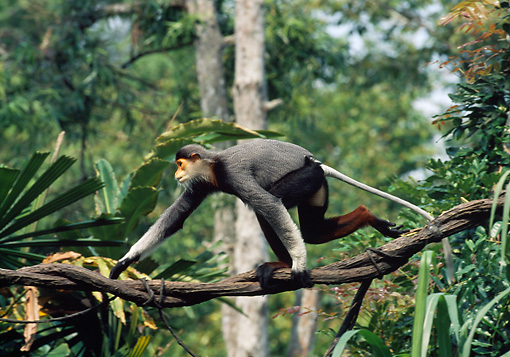 PRM 02 GL0024 01 © Kimball Stock Red-Shanked Douc Langur Walking Along Tree Branch Indonesia