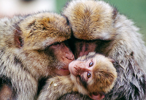 PRM 02 GL0029 01 © Kimball Stock Barbary Macaque Adults And Baby