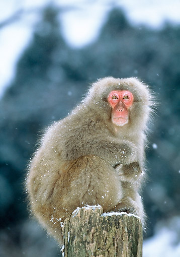 PRM 02 GL0030 01 © Kimball Stock Japanese Macaque Standing On Pole In Snow
