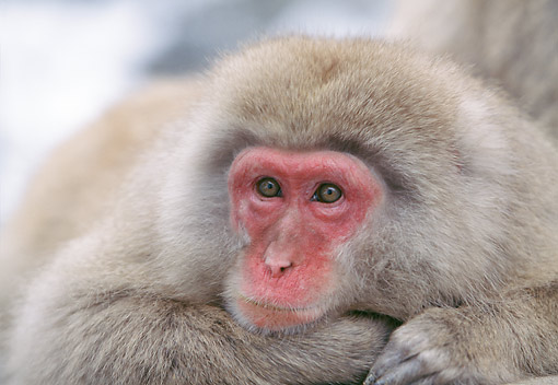 PRM 02 GL0031 01 © Kimball Stock Japanese Macaque Young Portrait