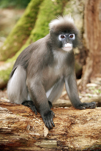 PRM 02 HP0003 01 © Kimball Stock Portrait Of Spectacled Langur Sitting On Log South Africa