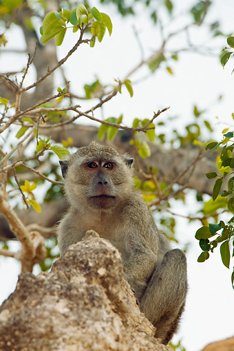 PRM 02 JM0002 01 © Kimball Stock Nicobar Long-Tailed Macaque Sitting In Tree Indonesia
