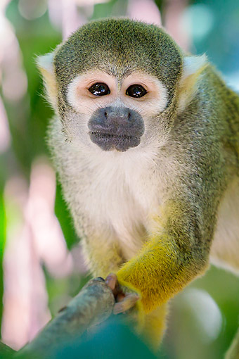 PRM 02 KH0022 01 © Kimball Stock Common Squirrel Monkey In South America