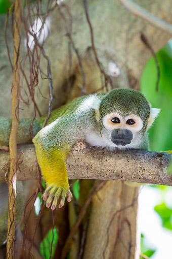 PRM 02 KH0023 01 © Kimball Stock Common Squirrel Monkey In South America