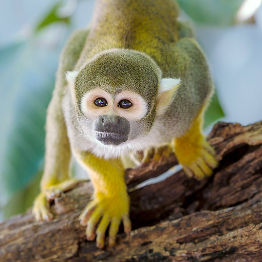 PRM 02 KH0024 01 © Kimball Stock Common Squirrel Monkey In South America